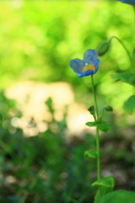 青いケシ0683-s