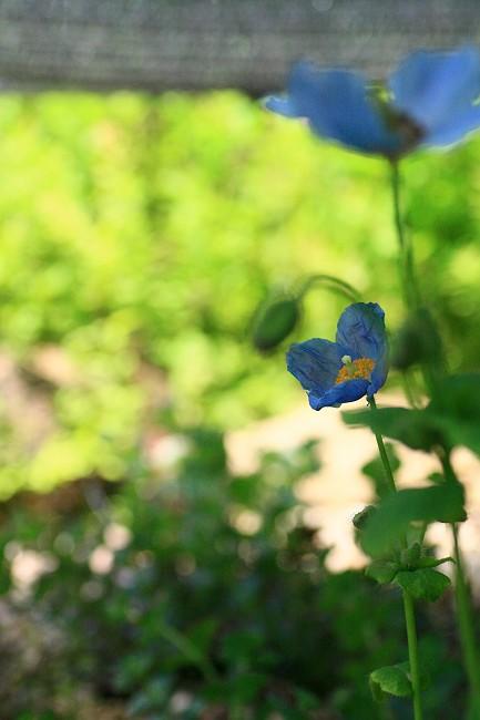 青いケシ0682-s