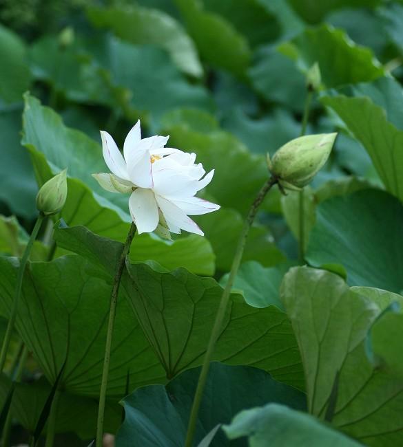 蓮の花0734-s