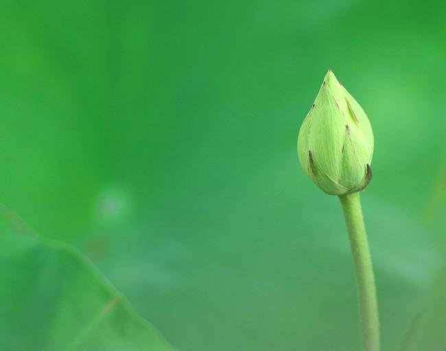 蓮の花0735-s