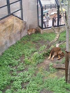 ライオン。。