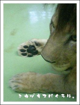 ライオン大好き♪