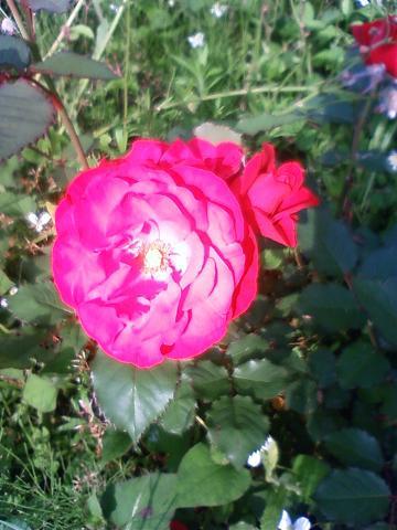 バラの花_2