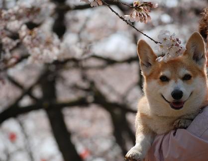 下関桜JPG