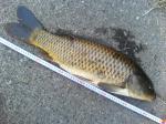 食パンで釣った鯉です。