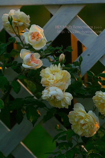 Desprez a Fleur Jaunes