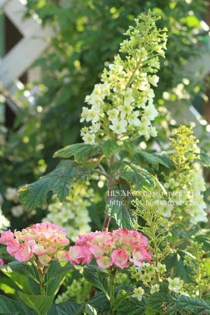 10ajisai0604IMG_1205.jpg