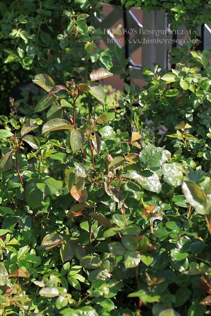 Chant rose misato