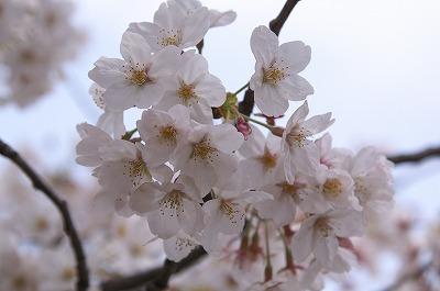 お花見04