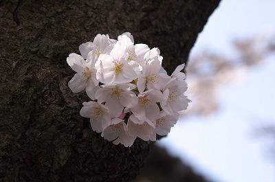 お花見05