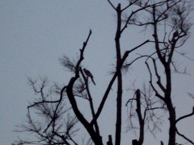 枯れ木に尾長