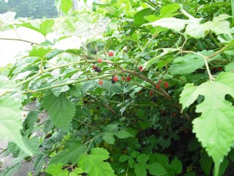 低い桑の木の実