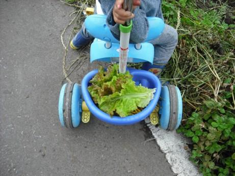 一輪車のレタス