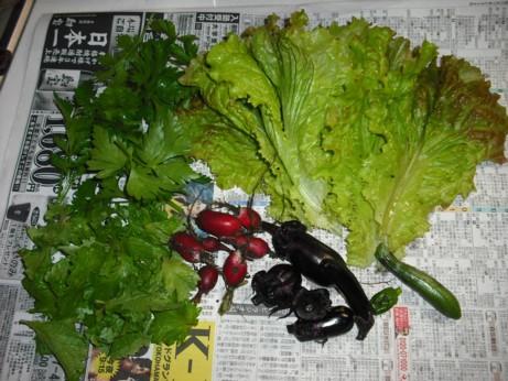 今日の収穫 ミニ野菜