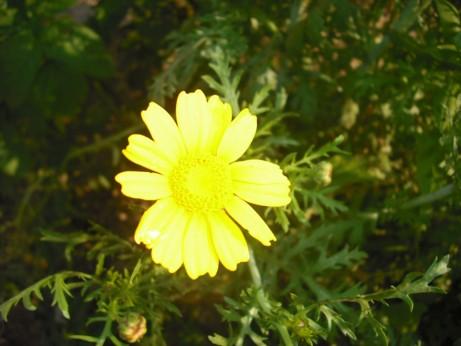 春菊黄一色