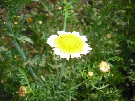 春菊の花二色