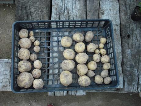 ジャガイモ二株収穫