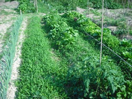 第四畑の雑草