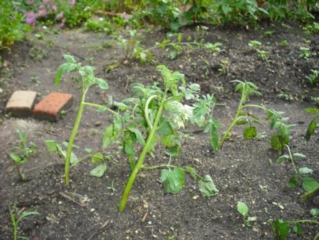 トマト挿し芽 その後