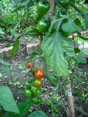 色づいたミニトマト