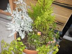 bosabosaになった鉢植え