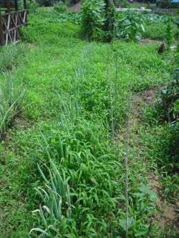 雑草とネギ その1