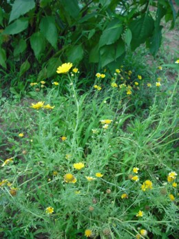 春菊の花 その4