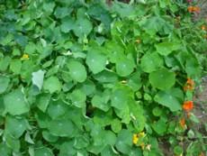 ナスタチウムの葉その5