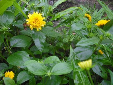 黄色い盆花