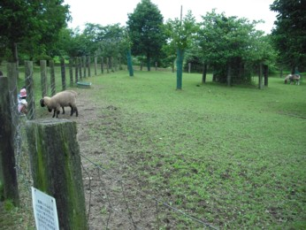 羊とミニホース5