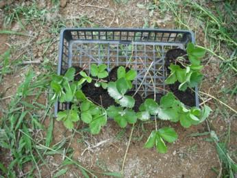 イチゴの苗取り 4