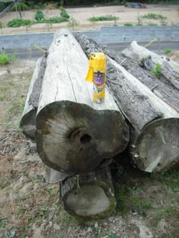 ヒバの木1