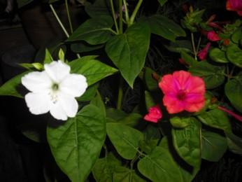 夜のおしろい花