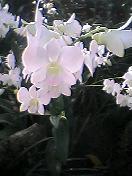 植物園、白い蘭