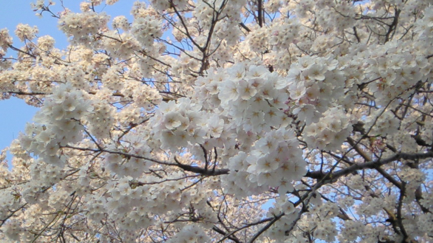 2009年の桜@千波湖周辺