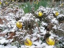 雪と福寿草