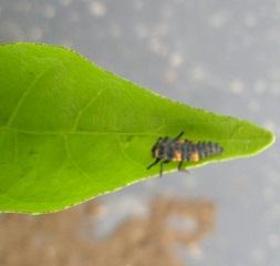 てんとうむしの幼虫