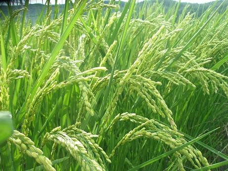 0018月18日の稲