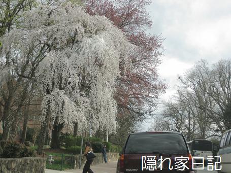 しだれ桜?
