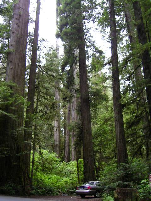 Redwood07.jpg