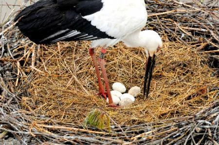 人工巣塔で確認された6個の卵と親鳥