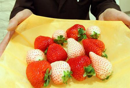 白いイチゴが人気 その名も「初恋の香り」