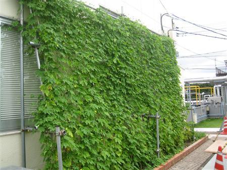 京セラ鹿児島川内工場で今夏「グリーンカーテン」として栽培されたゴーヤ