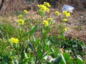 IMG_0725_convert_20100131165519菜の花