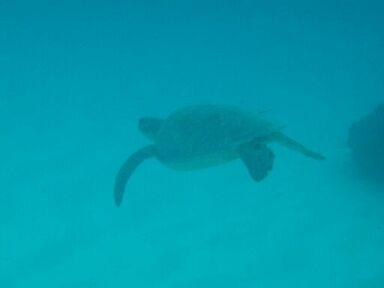 20100122アオウミガメ2