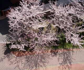 マンション中庭満開桜