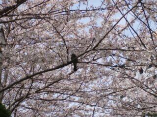 マンション中庭満開桜鳥一羽