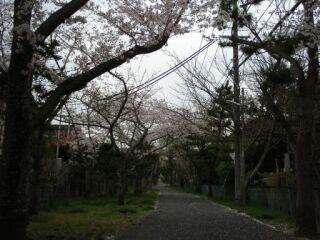 桜ヶ丘桜並木