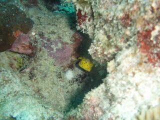 20110720ミナミハコフグ幼魚