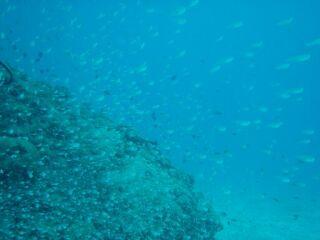 20110721スカシテンジクダイ群れ